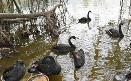 Hà Nội thả đàn thiên nga đen và trắng ở Hồ Gươm