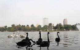 Cận cảnh đàn thiên nga giá 20 triệu đồng/con tại Hồ Gươm nhập từ nước ngoài