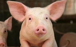 Kỳ lạ trang trại cho lợn uống trà xanh thay nước của nông dân Nhật Bản