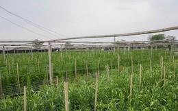 Tây Tựu: Người trồng hoa loa kèn có thực sự trúng lớn?