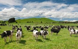 New Zealand tốn 616 triệu USD giết 150.000 con bò để dập dịch