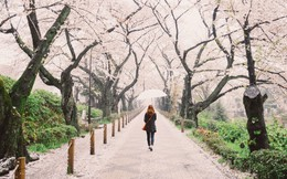 Trong khi cả thế giới muốn đến Nhật Bản ngắm hoa thì người dân nước này lại khốn khổ vì dị ứng phấn hoa, thiệt hại kinh tế hàng tỷ USD mỗi năm
