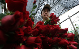 Câu chuyện bán hoa 1 tỷ USD của Colombia nhằm chống... ma túy