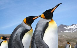 Vương quốc chim cánh cụt lớn nhất thế giới đã sụp đổ một cách bí ẩn mà khoa học vẫn không hiểu tại sao