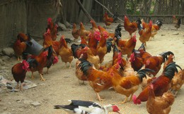 """Vì sao gà """"ngoại"""" rộng đường vào Việt Nam?"""