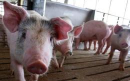 Chiến tranh thương mại quét qua những trang trại nuôi lợn của Trung Quốc