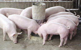 """Giá lợn hơi """"nhảy múa"""" thất thường khó đoán, tiềm ẩn nhiều nguy cơ"""