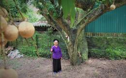 Hà Nội: Cận cảnh cây nhãn tổ khổng lồ 130 tuổi, mỗi năm thu hoạch gần một tấn quả