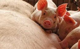 """Trung Quốc: Đau đầu vì """"siêu virus"""" trên lợn, nguy cơ đại dịch mới hoành hành Đông Nam Á"""