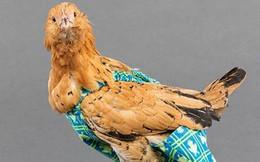 Hốt bạc nhờ sản xuất bỉm cho gà