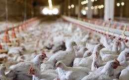 Vi khuẩn kháng kháng sinh có thực sự lây từ gà sang người qua thịt gà hay không?