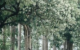 """Lại một mùa """"nồng nàn"""" hoa sữa: Từ biểu tượng mùa thu Hà Nội tới nỗi ám ảnh """"kinh hoàng"""" trong gió"""