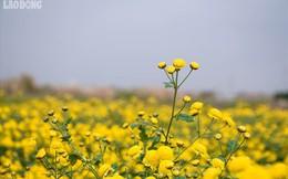 Đẹp mộng mị cánh đồng cúc Hưng Yên, nông dân thu 50 triệu mỗi sào