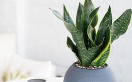 Trong phòng ngủ nhà bạn có cây lưỡi hổ không: Nếu chưa, hãy trồng ngay 1 cây vì lí do này