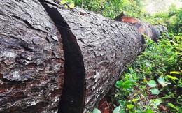 Hy hữu, hạ sát 32 cây rừng để 'chặn' đường lâm tặc