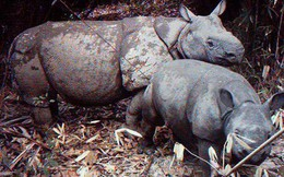 Tê giác một sừng có nguy cơ bị 'xóa sổ' sau thảm họa sóng thần tại Indonesia