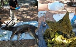 Mổ xác nai 200kg ở Thái Lan nhận được 7kg rác nhựa và cả... quần lót: Đau lòng vì tác động của loài người đã là quá lớn