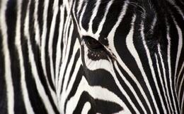 Rốt cuộc thì ngựa vằn có màu gì, là đen sọc trắng hay trắng sọc đen?