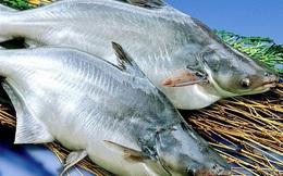 Ngược dòng đưa cá tra hồi hương, đến gần hơn với bữa ăn của người Việt