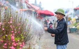 Đào Nhật Tân nở sớm, nhiều tuyến phố Hà Nội ngập tràn sắc xuân