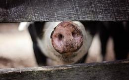 Chuyện lạ: Giá thịt lợn tăng cao là do xã hội đen cố tình lây bệnh, xẻ heo nhiễm dịch bán lại kiếm lời