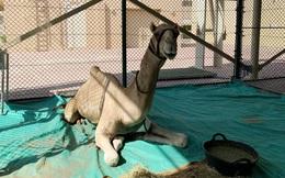Khám phá bệnh viện 10 triệu USD cho lạc đà ở Dubai