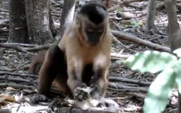Khỉ Capuchin đã âm thầm bước vào thời kỳ đồ đá, chúng sẽ thay thế con người để thống trị trái đất?