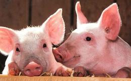 Năm Kỷ Hợi nói chuyện lợn: Mỗi năm có bao nhiêu chú heo bị thịt?
