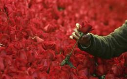 Đây là lý do những bông hồng Valentine đang 'giết' Trái Đất, hãy trở thành một người tặng quà sáng suốt!