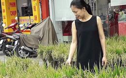 Người Sài Gòn mua lúa kiểng về chưng Tết