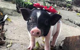 FAO hỗ trợ Việt Nam ứng phó dịch tả lợn châu Phi và tuyên bố: Dịch này KHÔNG lây sang người và gây bệnh cho con người