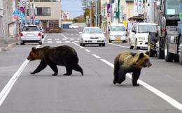 Nhật Bản: Người càng ít, Gấu càng đông