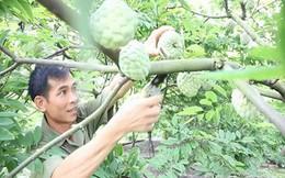 Quảng Ninh: Doanh thu hàng trăm tỷ đồng nhờ trồng na theo hướng VietGap