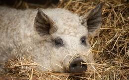 """Anh hùng thầm lặng của ẩm thực Hungari: Tái sinh giống lợn Mangalica sắp tuyệt chủng trở thành báu vật quốc gia, được coi là """"bò Kobe của loài lợn"""""""