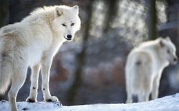 Làm thế nào để khiến chó sói chăm chỉ?: Bài học về phần thưởng xứng đáng cho nhân viên
