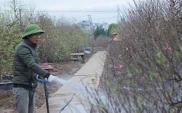 Giá Đào Nhật Tân sẽ tăng dịp Tết Nguyên đán do thời tiết rét muộn