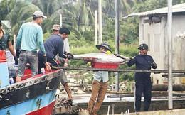 Về làng câu cá ngừ đại dương lớn nhất Ðông Nam Á