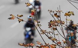 Phong lá đỏ Hà Nội: Chưa kịp đỏ, lá phong đua nhau ngả... đen
