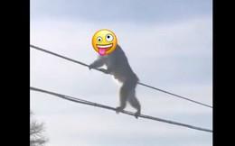 Chuyện nước Nhật: Tuyết rơi dày, lũ khỉ tuyết rủ nhau đu dây điện thoại cho đỡ lạnh chân