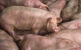 """Ngành chăn nuôi lợn Trung Quốc gặp """"đại hạn"""" ngay trước thềm năm Kỷ Hợi"""