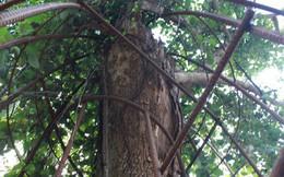 Hôm nay, cây sưa trăm tỷ đồng ở Hà Nội sẽ được chặt hạ