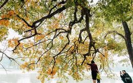 Hà Nội đẹp đến nao lòng mùa cây thay lá, màu vàng nên thơ phủ khắp phố phường