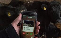 """Nông dân Anh đồng loạt sử dụng """"Tinder"""" để tìm bạn tình cho gia súc"""