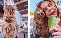 """Bộ ảnh về Quokka - loài thú luôn mỉm cười, được mệnh danh là """"hạnh phúc nhất Trái Đất"""" sẽ làm bạn quên hết muộn phiền"""