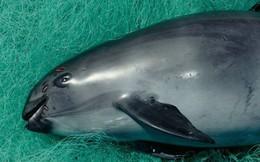 Loài cá heo cực hiếm này thực sự sắp tuyệt chủng, cả thế giới chỉ còn chưa đầy 10 con