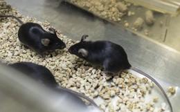 Trung Quốc bán chuột biến đổi gen với giá 17.000 USD/cặp, mở ra thị trường tỷ USD mới
