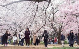 """Hoa anh đào, ngành kinh doanh """"tỷ đô"""" của Nhật Bản"""
