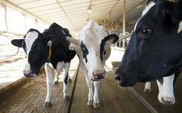 Bò sữa ở Anh đã có 5G dùng nhưng người thì chưa