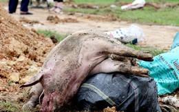 """Dịch tả lợn Châu Phi: """"Vỡ trận"""" do thiếu nhân lực hay do chủ quan?"""
