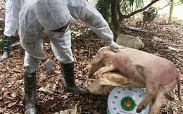 Đề xuất cấp đông hàng triệu tấn thịt lợn để dự trữ đối phó dịch tả lợn